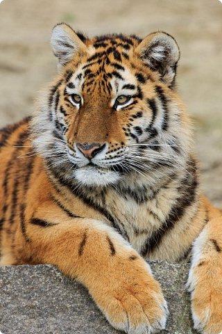 Амурский или уссурийский тигр самый крупный из всех кошачьих, самый сильный и свирепый хищник.Вес тигра больше 300 кг, он может развить скорость до 50 км в час. Тело очень гибкое, голова округлая, густая шерсть светлого окраса. На брюхе 5-ти сантиметровый слой жира, который спасает его от леденящего ветра и сильных морозов.Ареал обитания тигра сосредоточен в охраняемой зоне на юго-востоке России, по берегам Амура и Уссури в Хабаровском и Приморском крае.  фото 2