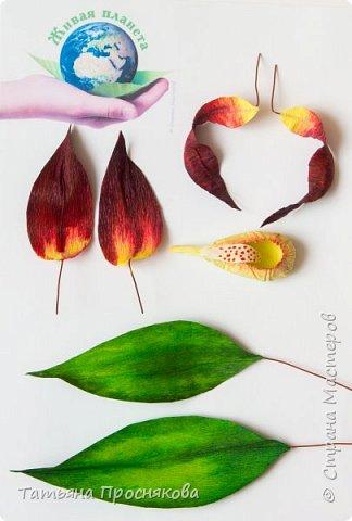 Редко кого может отставить равнодушным это удивительное растение. Хочу и я показать свой вариант этой дикой орхидеи - венериного башмачка. Их несколько разновидностей, но именно этот, венерин башмачок настоящий, с золотой сверкающей туфелькой в центре, привлёк моё внимание. фото 18