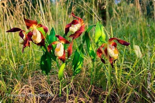 Редко кого может отставить равнодушным это удивительное растение. Хочу и я показать свой вариант этой дикой орхидеи - венериного башмачка. Их несколько разновидностей, но именно этот, венерин башмачок настоящий, с золотой сверкающей туфелькой в центре, привлёк моё внимание. фото 2