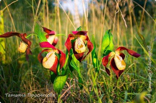 Редко кого может отставить равнодушным это удивительное растение. Хочу и я показать свой вариант этой дикой орхидеи - венериного башмачка. Их несколько разновидностей, но именно этот, венерин башмачок настоящий, с золотой сверкающей туфелькой в центре, привлёк моё внимание. фото 1