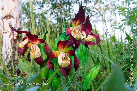 Редко кого может отставить равнодушным это удивительное растение. Хочу и я показать свой вариант этой дикой орхидеи - венериного башмачка. Их несколько разновидностей, но именно этот, венерин башмачок настоящий, с золотой сверкающей туфелькой в центре, привлёк моё внимание. фото 26
