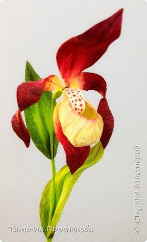 Редко кого может отставить равнодушным это удивительное растение. Хочу и я показать свой вариант этой дикой орхидеи - венериного башмачка. Их несколько разновидностей, но именно этот, венерин башмачок настоящий, с золотой сверкающей туфелькой в центре, привлёк моё внимание. фото 19
