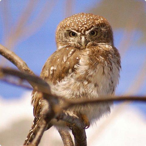 Воробьиный сыч — очень маленькая сова, живущая в хвойных и смешанных леса с густым подлеском и дуплистыми деревьями.  Длина  тела составляет 15—19 см, размах крыльев — 35—40 см, длина крыла — 9—11 см, вес — 55—80 г. Сверху эта птица буровато-серая, с округлыми белыми пятнышками; брюшко светлое с темными продольными пестринами. На слабо выраженном лицевом диске концентрические круги из белых крапин. Глаза желтые. Полет воробьиного сыча  легок и стремителен - он не летит, а как бы, играючи, порхает. Правда за один раз эта сова без посадки редко пролетает более 50-100 м.  Но и на этом отрезке птица успевает продемонстрировать исключительную ловкость: то круто свернет вправо или влево, то прошмыгнет среди густых ветвей, не задев ни одну из них. Воробьиный сыч - ночная птица, но хорошо видит и днем, даже охотится иногда в светлое время суток. Летом основу их рациона составляют мышевидные грызуны. Нередко жертвами сычиков становятся  птенцы или же самки, насиживающие яйца и не имеющие возможности покинуть гнездо. Чаще других в когти этой совы попадают большие синицы, гаички, московки, поползни. Интересен способ питания воробьиного сыча. Эти птицы не заглатывают добычу целиком, как многие совы, а с помощью клюва отрывают наиболее вкусные кусочки.  Осенью воробьиные сычи начинают делать запасы.  Обильные хранилища помогают  выжить в холодное время, спасая  от голода в те периоды, когда охота невозможна из-за сильных морозов или обильного снегового покрова. Более подробно о сычике можно прочитать здесь: https://ru.wikipedia.org/wiki/Воробьиный_сыч http://www.zooclub.ru/birds/vidy/179.shtml http://mirchudes.net/fauna/586-vorobinyy-sych.html фото 7