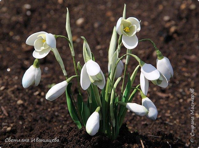 Удивительный аромат и не менее удивительный хрупкий вид  так можно описать этот прекрасный  цветок.  Подснежник – это нежный первоцвет, ботаническое название  – галантус, представитель семейства амариллисовых. С 1981 года занесен в Красную книгу.  Подснежник - это многолетнее и самое раннецветущее луковичное растение, пробивающееся из земли с первыми теплыми лучами, как только начинает таять снег. Каждая луковица выбрасывает только одну прямую цветоножку. Темно-зеленые блестящие листья появляются одновременно с цветком, по форме схожим с колокольчиком. Цветки белоснежные с зеленой окантовкой на  внутренних лепестках, окруженных тремя более крупными. Это необычное строение делает их неповторимыми и изящными. В высоту растение достигает 15-18 см, обильное цветение начинается в начале апреля.  фото 1