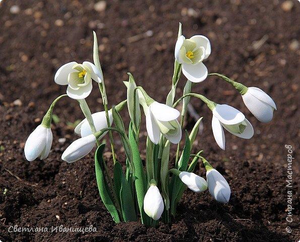 Удивительный аромат и не менее удивительный хрупкий вид  так можно описать этот прекрасный  цветок.  Подснежник – это нежный первоцвет, ботаническое название  – галантус, представитель семейства амариллисовых. С 1981 года занесен в Красную книгу.  Подснежник - это многолетнее и самое раннецветущее луковичное растение, пробивающееся из земли с первыми теплыми лучами, как только начинает таять снег. Каждая луковица выбрасывает только одну прямую цветоножку. Темно-зеленые блестящие листья появляются одновременно с цветком, по форме схожим с колокольчиком. Цветки белоснежные с зеленой окантовкой на  внутренних лепестках, окруженных тремя более крупными. Это необычное строение делает их неповторимыми и изящными. В высоту растение достигает 15-18 см, обильное цветение начинается в начале апреля.  фото 2
