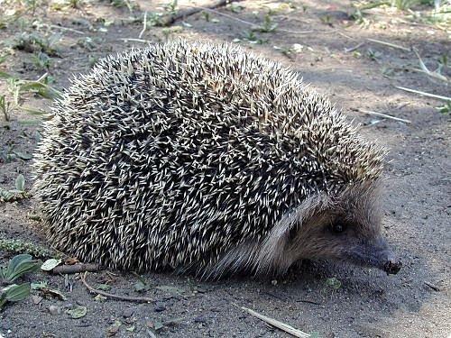 Даурский ёж (лат. Mesechinus dauuricus) — млекопитающее семейства ежовых.аурский еж имеет своеобразный внешний облик, резко отличающийся от других видов не только класса млекопитающих, но и отряда насекомоядных: иглистый кожный покров; способность свертываться в клубок, выставляя наружу только иглы; плотное телосложение с хорошо развитыми ушными раковинами и большими глазами. Голова конусообразная, морда умеренно вытянутая. Иглистый панцирь на голове не разделен пробором или участком голой кожи на две части. Уши относительно короткие. Колючки с продольными бороздками и валиками. На каждой колючке один, реже два темных пояска. Размеры крупные: длина тела с головой 233—270 мм (в среднем 250 мм), длина хвоста колеблется от 24 до 38 мм, размеры ушей— от 29 до 34 мм.http://info-vb.ru/spec/krasnaya-kniga-daurskii-ezhik фото 2