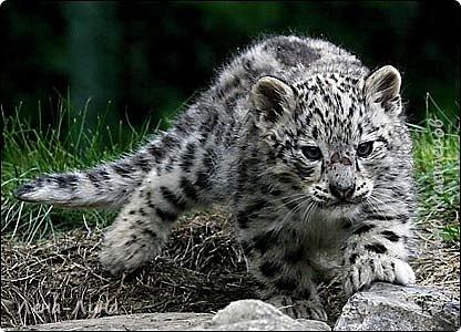 Снежный барс, или ирбис (Uncia uncia, или Panthera uncia) – единственный вид крупных кошек, приспособившийся обитать в суровых условиях высокогорий. Снежный барс – вид, изученный крайне недостаточно и долгое время остававшийся загадкой для исследователей. Мало кому удается увидеть ирбиса в дикой природе, гораздо чаще о его незримом присутствии в горах говорят следы жизнедеятельности этого осторожного хищника. В России снежный барс обитает на северном пределе современного ареала и образует всего лишь несколько устойчивых группировок в оптимальных местообитаниях – в горах Алтае-Саянского экорегиона. Численность ирбиса в России составляет всего лишь 1-2% от общей численности вида. Несколько лет назад удалось уточнить распространение и численность ключевых группировок ирбиса в России, обитающих в республиках Алтай, Тыва и в южной части Красноярского края. Ирбис для многих азиатских народов – символ силы, благородства и власти. Перечитав массу информации об этом исчезающем представителе семейства кошачьих, решила сделать этакого котенка-несмышленыша, которому еще только предстоит вырасти в большого, сильного и красивого зверя. фото 2