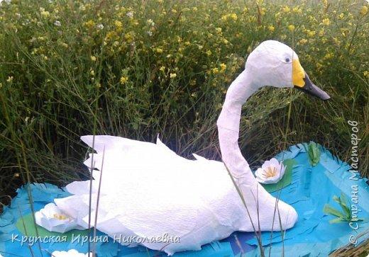 Лебедь - кликун фото 9
