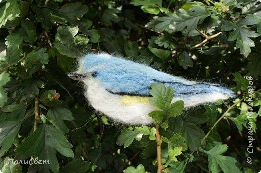 Синехвостка фото 1