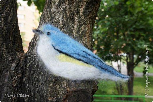 Синехвостка фото 7
