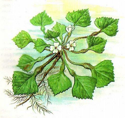 Рогульник плавающий, или Водяной орех плавающий, или Чили́м или Чёртов орех  — однолетнее водное растение, происходящее из южных районов Евразии и Африки. У нас он растет на Манжерокском озере.  Красивые розетки листьев, складывающиеся в причудливый резной узор, скромные цветочки и съедобный плод, который обладает лечебными свойствами. Плоды в давние времена широко употреблялись в пищу, но сейчас их использование сократилось, или забыто вообще. Водяные орехи найдены в постройках каменного века. Размеры запасов говорят о том, что растение играло роль, аналогичную роли картофеля в наше время. Раскопки показывают, что на Руси в X—XII веках употребление водяных орехов было очень широко распространено. Их ели, как каштаны, или сушили, толкли и добавляли в муку.  фото 8