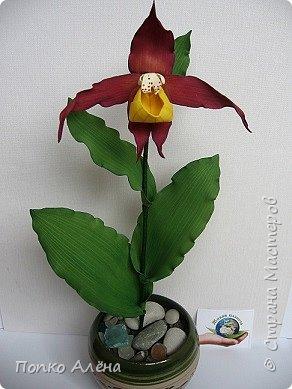 Самая красивая из белорусских орхидей очень привередлива. Венерин башмачок не выносит яркого освещения, любит тень, а почва растению нужна влажная, с определенным видом грибка.    Первый лист орхидеи появляется только на 4-й год, а сам красивый цветок еще позже. Наиболее яркими и красивыми цветки бывают на неопыленных растениях. В Беларуси произрастает 35 видов орхидных, но самым красивым является Венерин башмачок, который имеет желтые, фиолетово-розовые, буро-красные яркие цветы. Венерин башмачок, как и все орхидные, является так называемым насекомоядным растением.    Читать полностью: http://www.interfax.by/article/104032   фото 12