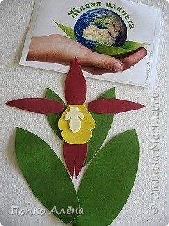 Самая красивая из белорусских орхидей очень привередлива. Венерин башмачок не выносит яркого освещения, любит тень, а почва растению нужна влажная, с определенным видом грибка.    Первый лист орхидеи появляется только на 4-й год, а сам красивый цветок еще позже. Наиболее яркими и красивыми цветки бывают на неопыленных растениях. В Беларуси произрастает 35 видов орхидных, но самым красивым является Венерин башмачок, который имеет желтые, фиолетово-розовые, буро-красные яркие цветы. Венерин башмачок, как и все орхидные, является так называемым насекомоядным растением.    Читать полностью: http://www.interfax.by/article/104032   фото 4