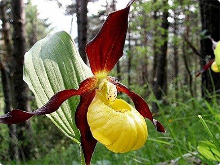 Самая красивая из белорусских орхидей очень привередлива. Венерин башмачок не выносит яркого освещения, любит тень, а почва растению нужна влажная, с определенным видом грибка.    Первый лист орхидеи появляется только на 4-й год, а сам красивый цветок еще позже. Наиболее яркими и красивыми цветки бывают на неопыленных растениях. В Беларуси произрастает 35 видов орхидных, но самым красивым является Венерин башмачок, который имеет желтые, фиолетово-розовые, буро-красные яркие цветы. Венерин башмачок, как и все орхидные, является так называемым насекомоядным растением.    Читать полностью: http://www.interfax.by/article/104032   фото 2