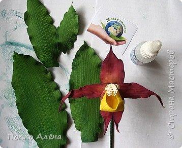 Самая красивая из белорусских орхидей очень привередлива. Венерин башмачок не выносит яркого освещения, любит тень, а почва растению нужна влажная, с определенным видом грибка.    Первый лист орхидеи появляется только на 4-й год, а сам красивый цветок еще позже. Наиболее яркими и красивыми цветки бывают на неопыленных растениях. В Беларуси произрастает 35 видов орхидных, но самым красивым является Венерин башмачок, который имеет желтые, фиолетово-розовые, буро-красные яркие цветы. Венерин башмачок, как и все орхидные, является так называемым насекомоядным растением.    Читать полностью: http://www.interfax.by/article/104032   фото 8