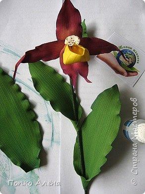 Самая красивая из белорусских орхидей очень привередлива. Венерин башмачок не выносит яркого освещения, любит тень, а почва растению нужна влажная, с определенным видом грибка.    Первый лист орхидеи появляется только на 4-й год, а сам красивый цветок еще позже. Наиболее яркими и красивыми цветки бывают на неопыленных растениях. В Беларуси произрастает 35 видов орхидных, но самым красивым является Венерин башмачок, который имеет желтые, фиолетово-розовые, буро-красные яркие цветы. Венерин башмачок, как и все орхидные, является так называемым насекомоядным растением.    Читать полностью: http://www.interfax.by/article/104032   фото 9