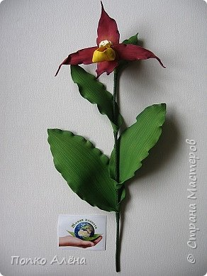 Самая красивая из белорусских орхидей очень привередлива. Венерин башмачок не выносит яркого освещения, любит тень, а почва растению нужна влажная, с определенным видом грибка.    Первый лист орхидеи появляется только на 4-й год, а сам красивый цветок еще позже. Наиболее яркими и красивыми цветки бывают на неопыленных растениях. В Беларуси произрастает 35 видов орхидных, но самым красивым является Венерин башмачок, который имеет желтые, фиолетово-розовые, буро-красные яркие цветы. Венерин башмачок, как и все орхидные, является так называемым насекомоядным растением.    Читать полностью: http://www.interfax.by/article/104032   фото 10