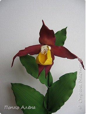 Самая красивая из белорусских орхидей очень привередлива. Венерин башмачок не выносит яркого освещения, любит тень, а почва растению нужна влажная, с определенным видом грибка.    Первый лист орхидеи появляется только на 4-й год, а сам красивый цветок еще позже. Наиболее яркими и красивыми цветки бывают на неопыленных растениях. В Беларуси произрастает 35 видов орхидных, но самым красивым является Венерин башмачок, который имеет желтые, фиолетово-розовые, буро-красные яркие цветы. Венерин башмачок, как и все орхидные, является так называемым насекомоядным растением.    Читать полностью: http://www.interfax.by/article/104032   фото 11