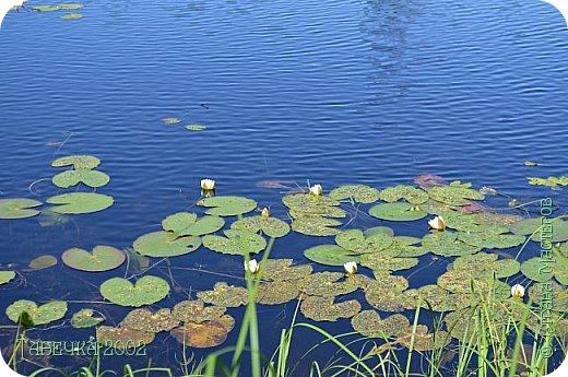 Водяная лилия (кувшинка, Nymphaeáceae) - многолетнее травянистое водное растение, принадлежащее к классу кувшинковых, или нимфейных. Занесена в Красную Книгу Республики Коми.Темно-бурое толстое корневище (до 2,5 м в высоту) покрыто небольшим количеством черешков листьев. За счет целой системы воздухоносных каналов обеспечивается дыхание растения и удержание на поверхности при сильных ветрах.  Листья плавающие, округлой формы, диаметром до 30 см, меняют цвет с возрастом, от красноватого до темно-зеленого и красновато-фиолетового. Одиночные крупные цветки белого цвета, в диаметре до 20 см. Чашечка, состоящая из 3-5 лепестков, обладает сильным нежным запахом. Цветет в течение всего лета. Плоды зеленого цвета, шарообразной формы, созревают под водой.(Красная Книга РеспубликиКоми) фото 9
