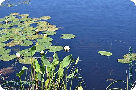 Водяная лилия (кувшинка, Nymphaeáceae) - многолетнее травянистое водное растение, принадлежащее к классу кувшинковых, или нимфейных. Занесена в Красную Книгу Республики Коми.Темно-бурое толстое корневище (до 2,5 м в высоту) покрыто небольшим количеством черешков листьев. За счет целой системы воздухоносных каналов обеспечивается дыхание растения и удержание на поверхности при сильных ветрах.  Листья плавающие, округлой формы, диаметром до 30 см, меняют цвет с возрастом, от красноватого до темно-зеленого и красновато-фиолетового. Одиночные крупные цветки белого цвета, в диаметре до 20 см. Чашечка, состоящая из 3-5 лепестков, обладает сильным нежным запахом. Цветет в течение всего лета. Плоды зеленого цвета, шарообразной формы, созревают под водой.(Красная Книга РеспубликиКоми) фото 10