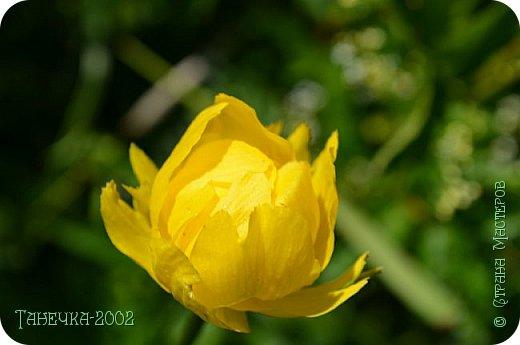 Водяная лилия (кувшинка, Nymphaeáceae) - многолетнее травянистое водное растение, принадлежащее к классу кувшинковых, или нимфейных. Занесена в Красную Книгу Республики Коми.Темно-бурое толстое корневище (до 2,5 м в высоту) покрыто небольшим количеством черешков листьев. За счет целой системы воздухоносных каналов обеспечивается дыхание растения и удержание на поверхности при сильных ветрах.  Листья плавающие, округлой формы, диаметром до 30 см, меняют цвет с возрастом, от красноватого до темно-зеленого и красновато-фиолетового. Одиночные крупные цветки белого цвета, в диаметре до 20 см. Чашечка, состоящая из 3-5 лепестков, обладает сильным нежным запахом. Цветет в течение всего лета. Плоды зеленого цвета, шарообразной формы, созревают под водой.(Красная Книга РеспубликиКоми) фото 23