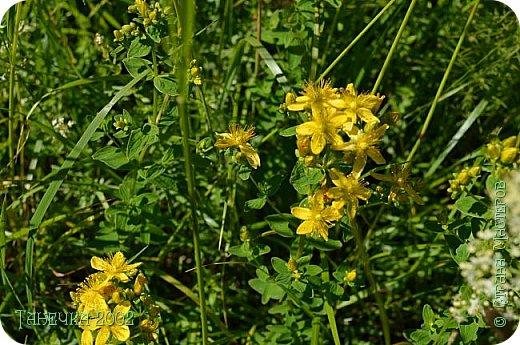 Водяная лилия (кувшинка, Nymphaeáceae) - многолетнее травянистое водное растение, принадлежащее к классу кувшинковых, или нимфейных. Занесена в Красную Книгу Республики Коми.Темно-бурое толстое корневище (до 2,5 м в высоту) покрыто небольшим количеством черешков листьев. За счет целой системы воздухоносных каналов обеспечивается дыхание растения и удержание на поверхности при сильных ветрах.  Листья плавающие, округлой формы, диаметром до 30 см, меняют цвет с возрастом, от красноватого до темно-зеленого и красновато-фиолетового. Одиночные крупные цветки белого цвета, в диаметре до 20 см. Чашечка, состоящая из 3-5 лепестков, обладает сильным нежным запахом. Цветет в течение всего лета. Плоды зеленого цвета, шарообразной формы, созревают под водой.(Красная Книга РеспубликиКоми) фото 22