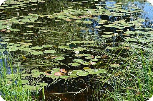 Водяная лилия (кувшинка, Nymphaeáceae) - многолетнее травянистое водное растение, принадлежащее к классу кувшинковых, или нимфейных. Занесена в Красную Книгу Республики Коми.Темно-бурое толстое корневище (до 2,5 м в высоту) покрыто небольшим количеством черешков листьев. За счет целой системы воздухоносных каналов обеспечивается дыхание растения и удержание на поверхности при сильных ветрах.  Листья плавающие, округлой формы, диаметром до 30 см, меняют цвет с возрастом, от красноватого до темно-зеленого и красновато-фиолетового. Одиночные крупные цветки белого цвета, в диаметре до 20 см. Чашечка, состоящая из 3-5 лепестков, обладает сильным нежным запахом. Цветет в течение всего лета. Плоды зеленого цвета, шарообразной формы, созревают под водой.(Красная Книга РеспубликиКоми) фото 13