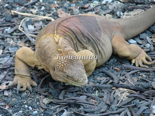 Морская игуана (кожаные губки) фото 2