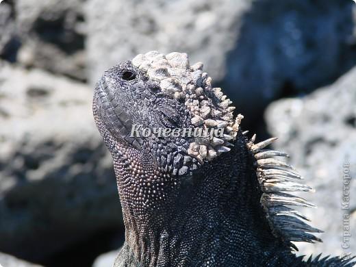 Морская игуана (кожаные губки) фото 1