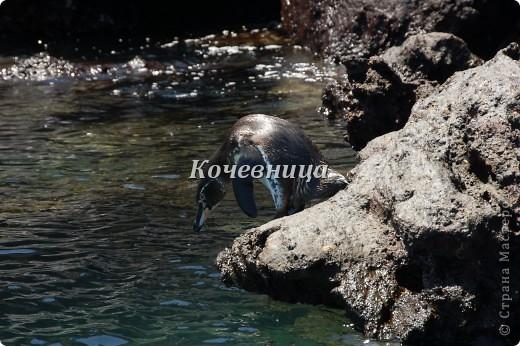 На о.Исабелла (самый большой остров архипелага, по форме напоминающий морского конька) мы шли на катере в сопровождении дельфинов ( часов 6 или 7 – точно не помню), на причале нас  встретили «пограничники» и обыскали рюкзаки на предмет ввоза флоры и фауны с другого острова.  На каждом острове своя растительность и свои жители, и дабы сохранить равновесие, пришлось властям ввести такие меры предосторожности.   фото 13