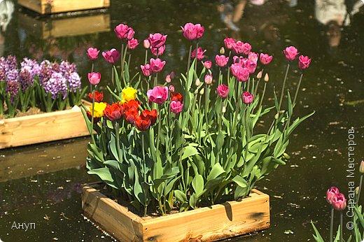"""Такое цветение тюльпанов можно наблюдать в эти дни в Москве, в так называемом """"Аптекарском огороде"""". фото 2"""