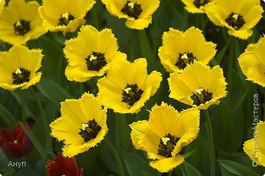 """Такое цветение тюльпанов можно наблюдать в эти дни в Москве, в так называемом """"Аптекарском огороде"""". фото 6"""