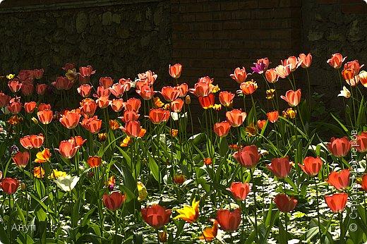 """Такое цветение тюльпанов можно наблюдать в эти дни в Москве, в так называемом """"Аптекарском огороде"""". фото 7"""