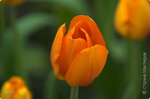 """Такое цветение тюльпанов можно наблюдать в эти дни в Москве, в так называемом """"Аптекарском огороде"""". фото 8"""