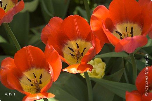 """Такое цветение тюльпанов можно наблюдать в эти дни в Москве, в так называемом """"Аптекарском огороде"""". фото 9"""