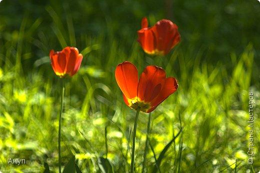 """Такое цветение тюльпанов можно наблюдать в эти дни в Москве, в так называемом """"Аптекарском огороде"""". фото 11"""