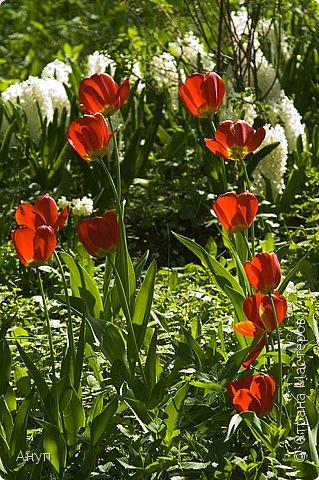 """Такое цветение тюльпанов можно наблюдать в эти дни в Москве, в так называемом """"Аптекарском огороде"""". фото 12"""