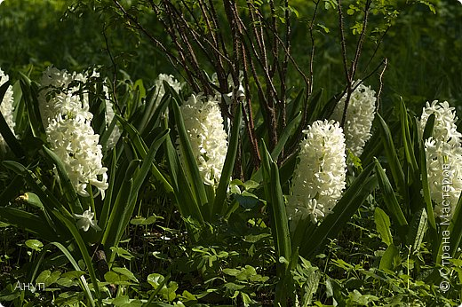 """Такое цветение тюльпанов можно наблюдать в эти дни в Москве, в так называемом """"Аптекарском огороде"""". фото 13"""
