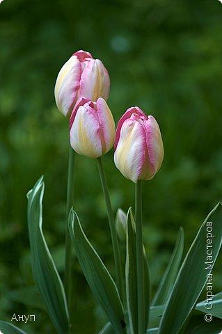 """Такое цветение тюльпанов можно наблюдать в эти дни в Москве, в так называемом """"Аптекарском огороде"""". фото 14"""