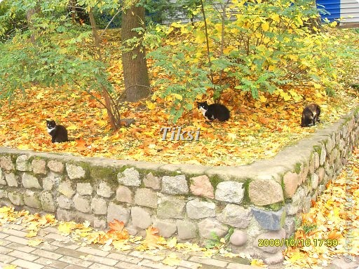 Очень люблю осень,именно вот эту,золотую ее пору....Это Подмосковье.Октябрь. Лес, точно терем расписной, Лиловый, золотой, багряный, Веселой, пестрою стеной Стоит над светлою поляной....И.Бунин. фото 10