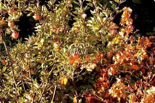 Очень люблю осень,именно вот эту,золотую ее пору....Это Подмосковье.Октябрь. Лес, точно терем расписной, Лиловый, золотой, багряный, Веселой, пестрою стеной Стоит над светлою поляной....И.Бунин. фото 8