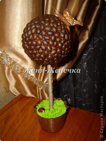 Кофейное деревце!!! фото 4