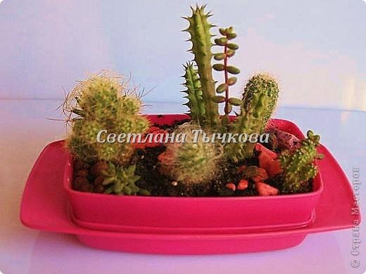 Цереус скалистый(кактусовые) фото 19