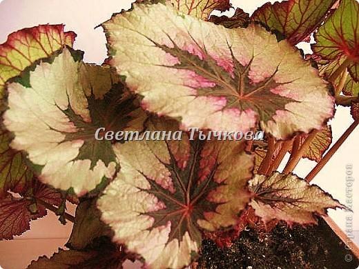 Цереус скалистый(кактусовые) фото 4