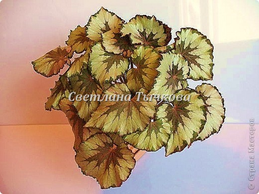Цереус скалистый(кактусовые) фото 3
