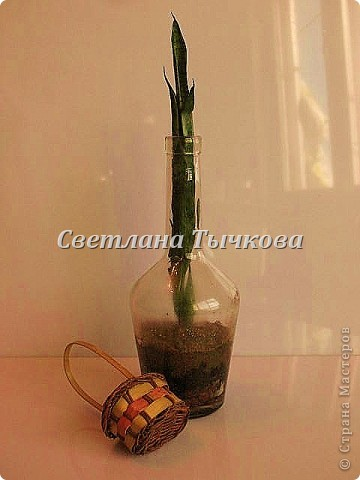 Цереус скалистый(кактусовые) фото 18