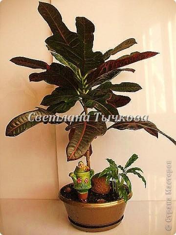 Цереус скалистый(кактусовые) фото 8