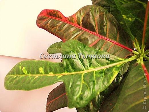 Цереус скалистый(кактусовые) фото 9