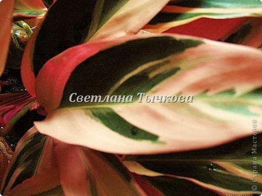 Цереус скалистый(кактусовые) фото 7