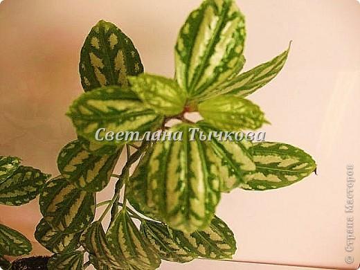 Цереус скалистый(кактусовые) фото 12